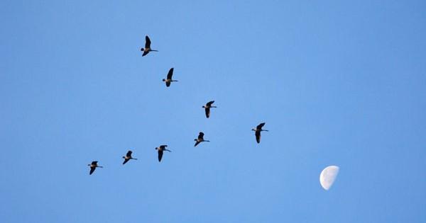 Αναρωτιέστε γιατί τα πουλιά πετούν σε σχηματισμό V; Ιδού η απάντηση (εικόνες)