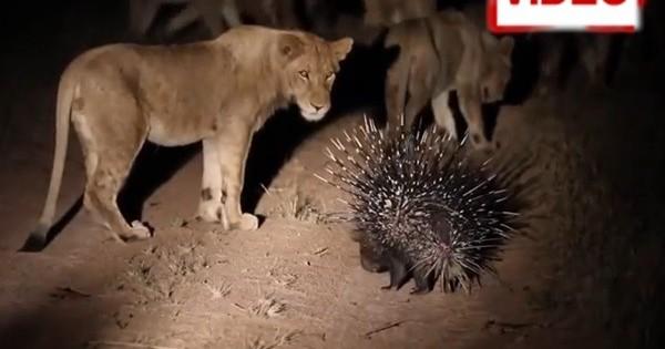 Η γενναία μάχη ενός σκαντζόχοιρου με… 17 λιοντάρια!