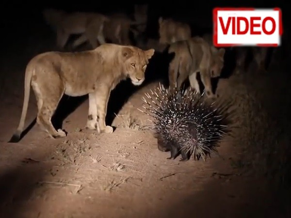 σκαντζόχοιρος μάχη λιοντάρι Βίντεο