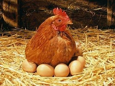 Δεν υπάρχει: Κότα γέννησε… φτερωτό αβγό!