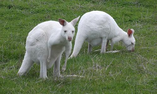 ζώα αλμπίνο