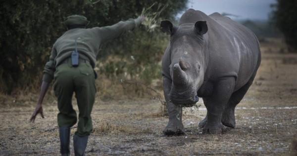 Κένυα: Αντιμέτωπος με εξαφάνιση ο βόρειος λευκός ρινόκερος