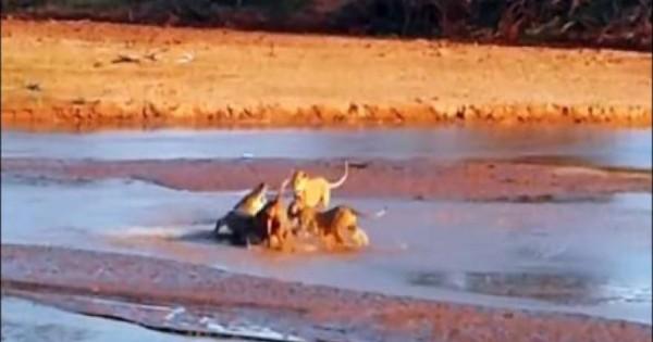 Επική μάχη: 3 λιοντάρια εναντίον κροκόδειλου (βίντεο)