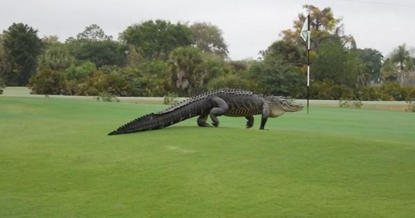 Τεράστιος κροκόδειλος είπε να… παίξει γκολφ! (εικόνες)