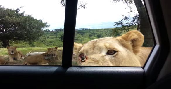 Λιοντάρι ανοίγει την πόρτα του αυτοκινήτου! (βίντεο)