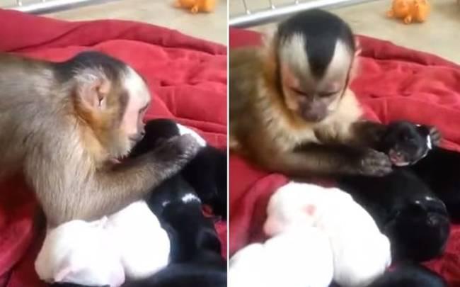 μαϊμού κουταβάκια Βίντεο