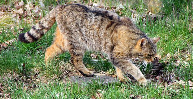 Κρήτη Γάτα αγριόγατος αγριόγατα