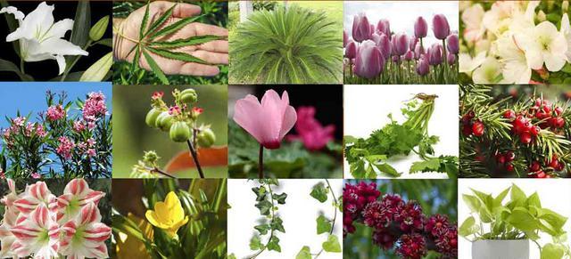 φυτά τοξικά Σκύλος λουλούδια