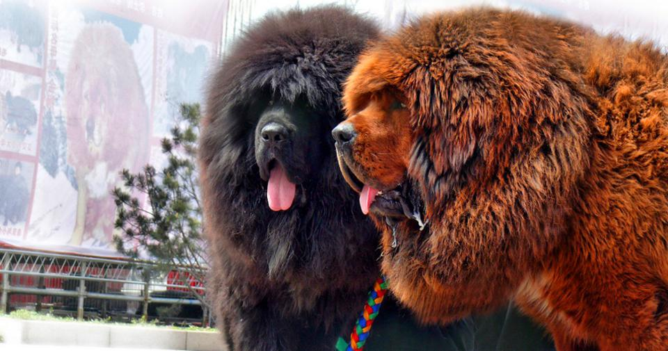 φυλές σκύλων Σκύλος γιγαντιαίες Tibetan Mastiff Saint Bernard Newfoundland Neapolitan Mastiff Irish Wolfhound Great Dane Dogue de Bordeaux Black Russian Terrier