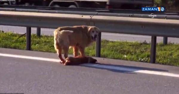 Σκύλος προσπαθεί να προστατέψει το φίλο του που έχει χτυπηθεί από αυτοκίνητο (video)