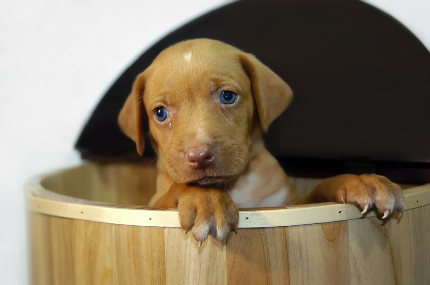Σκύλος μάτια