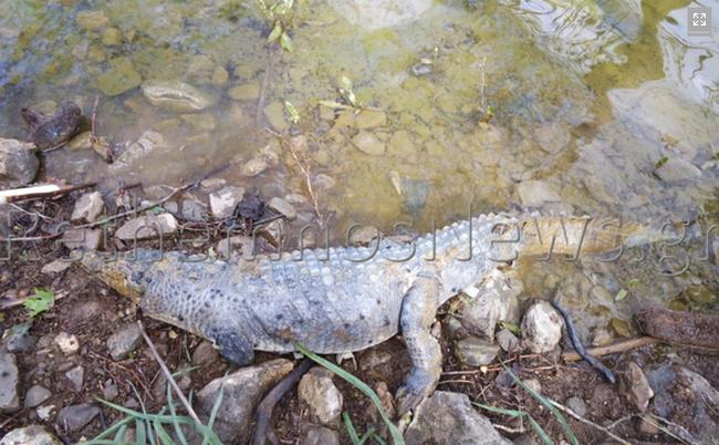 Σήφης νεκρός κροκόδειλος