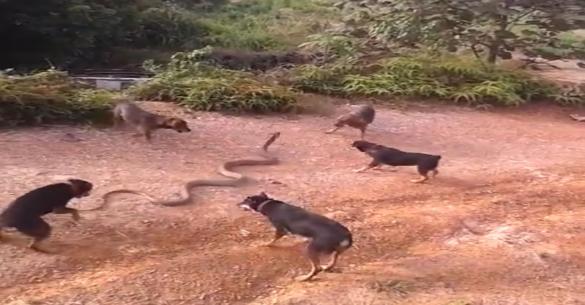 Εντυπωσιακή «μάχη»: 5 σκύλοι απέναντι σε ένα τεράστιο φίδι (βίντεο)