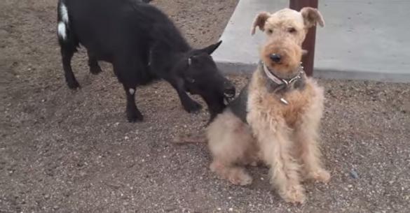 Πολύ γέλιο: Τι γίνεται όταν ένα κατσίκι πειράζει ένα σκύλο! (βίντεο)