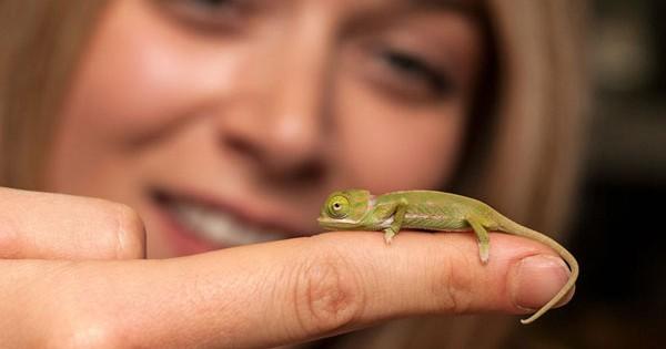 Πανέμορφες φωτογραφίες από 20 χαμαιλέοντες γεννήθηκαν σε ζωολογικό κήπο