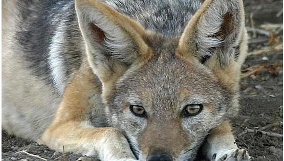 ΤΣΑΚΑΛΙ: Το παρεξηγημένο ζωο που κινδυνεύει με εξαφάνιση