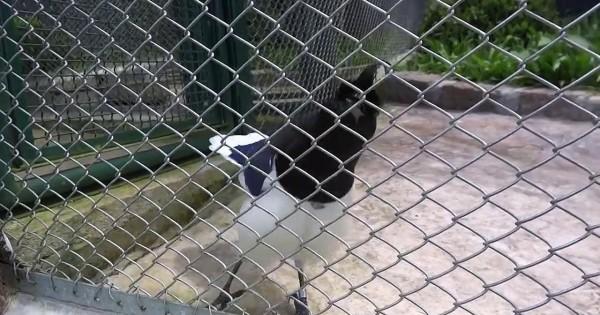 Ο ήχος αυτού του πουλιού θα σας εκπλήξει!!! Αξίζει να τον ακούσετε! (Βίντεο)
