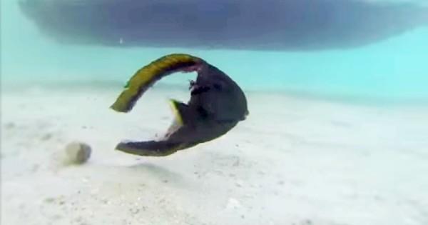 Το ψάρι που κολυμπά παρόλο που του λείπει σχεδόν όλα το σώμα (βίντεο)