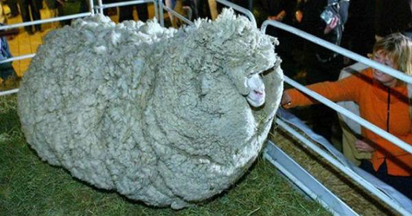 Το πριν και το μετά από ένα πρόβατο που είχε να κουρευτεί 6 χρόνια (εικόνες)