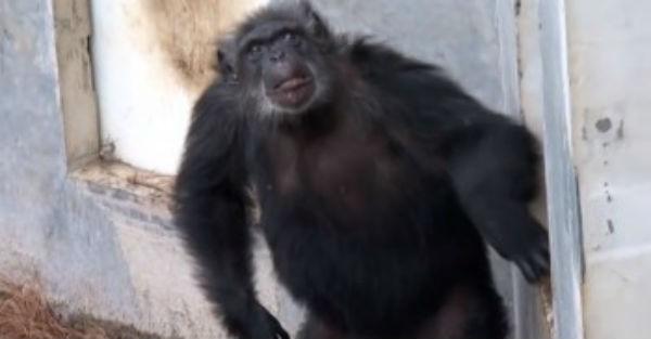 Συγκινητικό βίντεο: Χιμπαντζήδες-πειραματόζωα βλέπουν για πρώτη φορά το φως του ηλίου