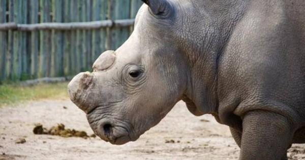 Κένυα: Ένοπλοι φρουροί για τον τελευταίο λευκό ρινόκερο του κόσμου (Εικόνα)