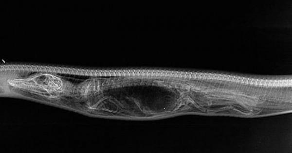 Πύθωνας χωνεύει… αλιγάτορα! (Φωτογραφίες)