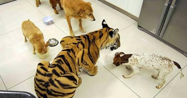 Τίγρης… κατοικίδιο