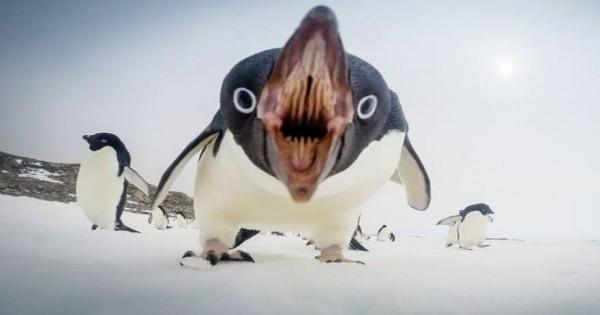 Η τρομακτική πλευρά ενός πιγκουίνου