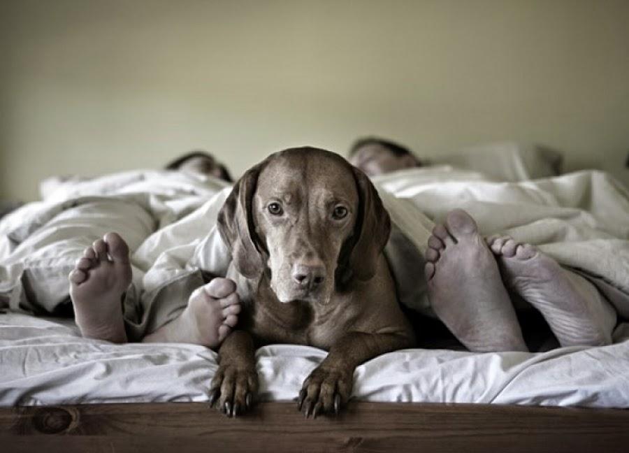 Σκύλος κρεβάτι