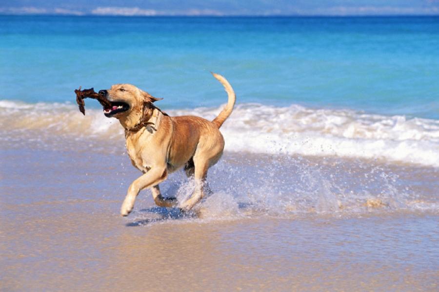 Σκύλος ούρα θάλασσα