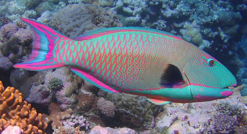 ψάρια τροπικά ψάρια Queen Angelfish Puffer Fish Parrot Fish Lionfish Butterfly fish