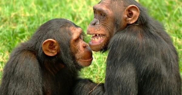 Iστορική απόφαση για πειραματόζωα: Ως νομικά πρόσωπα αναγνωρίζονται χιμπατζήδες