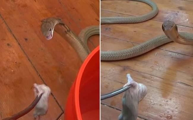 φίδι ποντίκι κόμπρα Βίντεο