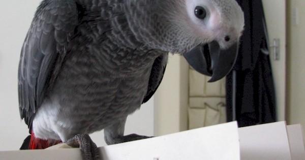 Einstein: Ο παπαγάλος που μιλάει άπταιστα
