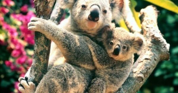 Γιατί τα κοάλα γαντζώνονται στα δέντρα;