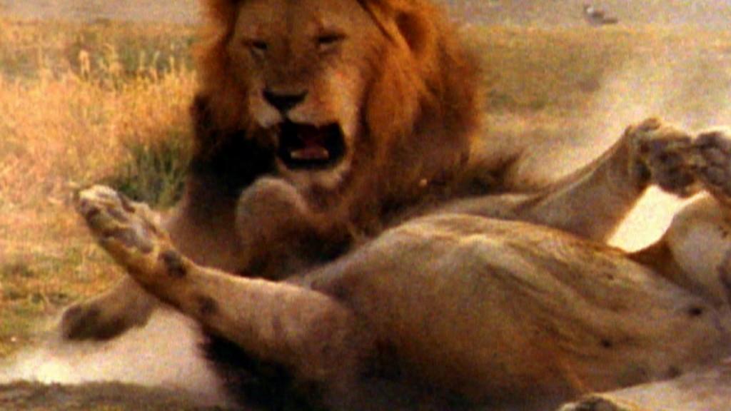 Μονομαχία λιοντάρια λιοντάρι