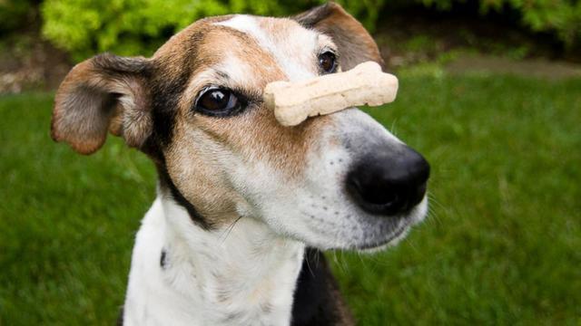 Σκύλος Μπισκότα κάνναβης