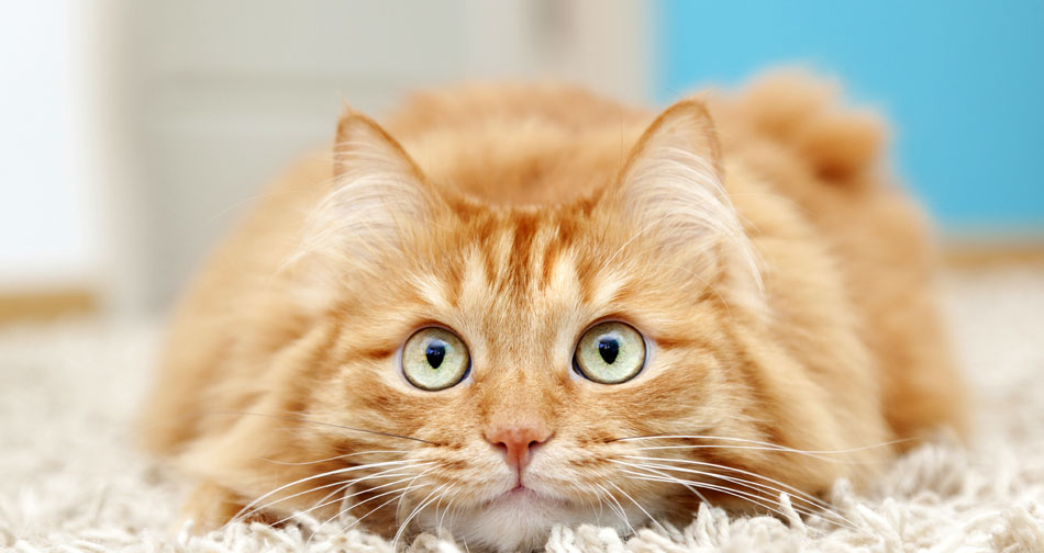 συμπεριφορά γάτες Γάτα