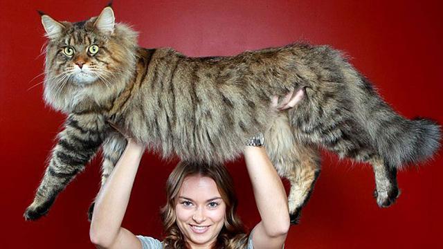 μεγάλες γάτες
