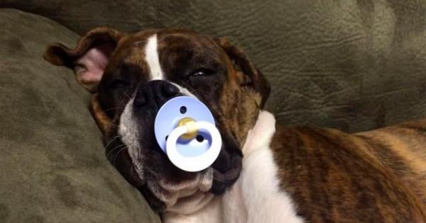 Δείτε το Boxer που κοιμάται μόνο με… Πιπίλα (video)