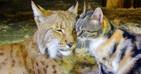 Γάτα τρύπωσε σε ζωολογικό κήπο και έγινε φίλη με έναν… λύγκα (video)