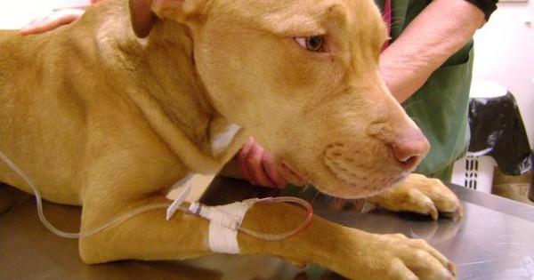 Πρώτες βοήθειες σκύλου: Δηλητηρίαση