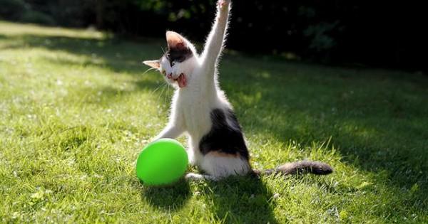 Πώς αντιδρά μια γάτα όταν σκάει μπροστά της το μπαλόνι (βίντεο)