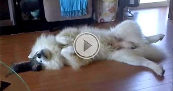 Γατάκι τρελένεται να ενοχλεί αυτόν τον τεράστιο σκύλο (video)