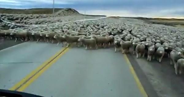 Μια θάλασσα από πρόβατα (Βίντεο)