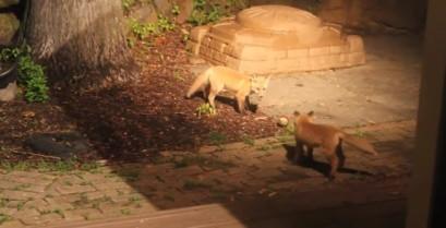 Επίσκεψη από δύο μικρές αλεπούδες (Βίντεο)