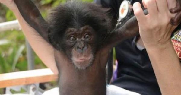 Αυτό το μωρό χιμπατζής έχασε τη μητέρα του. Δείτε με ποίο τρόπο την αντικατέστησαν και κατάφεραν να το σώσουν! (Βίντεο)
