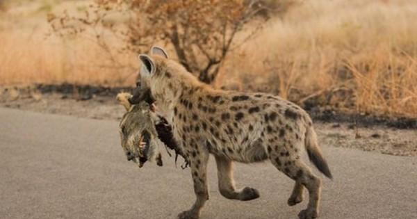 Ύαινα περιφέρει το κεφάλι ενός λιονταριού ως τρόπαιο (Φωτογραφίες)