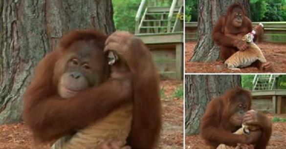 Ουρακοτάγκος φροντίζει μια μικρή τίγρη σαν να είναι δικός του απόγονος. Πολύ όμορφο βίντεο!