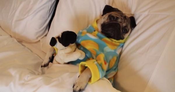 Αυτό το γλυκύτατο σκυλάκι είναι έτοιμο για ύπνο. Δείτε όμως τι αξιολάτρευτο πράγμα κάνει…(Βίντεο)